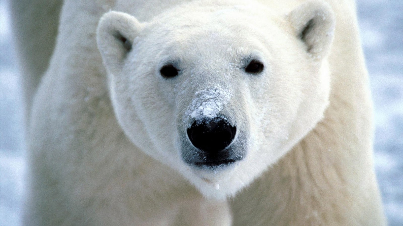 polar bear face wallpaper 66740