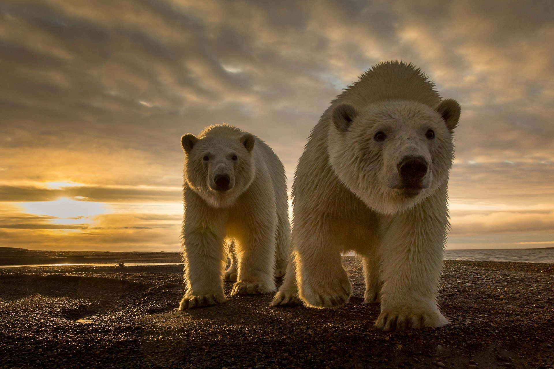 polar bears desktop hd wallpaper 66744