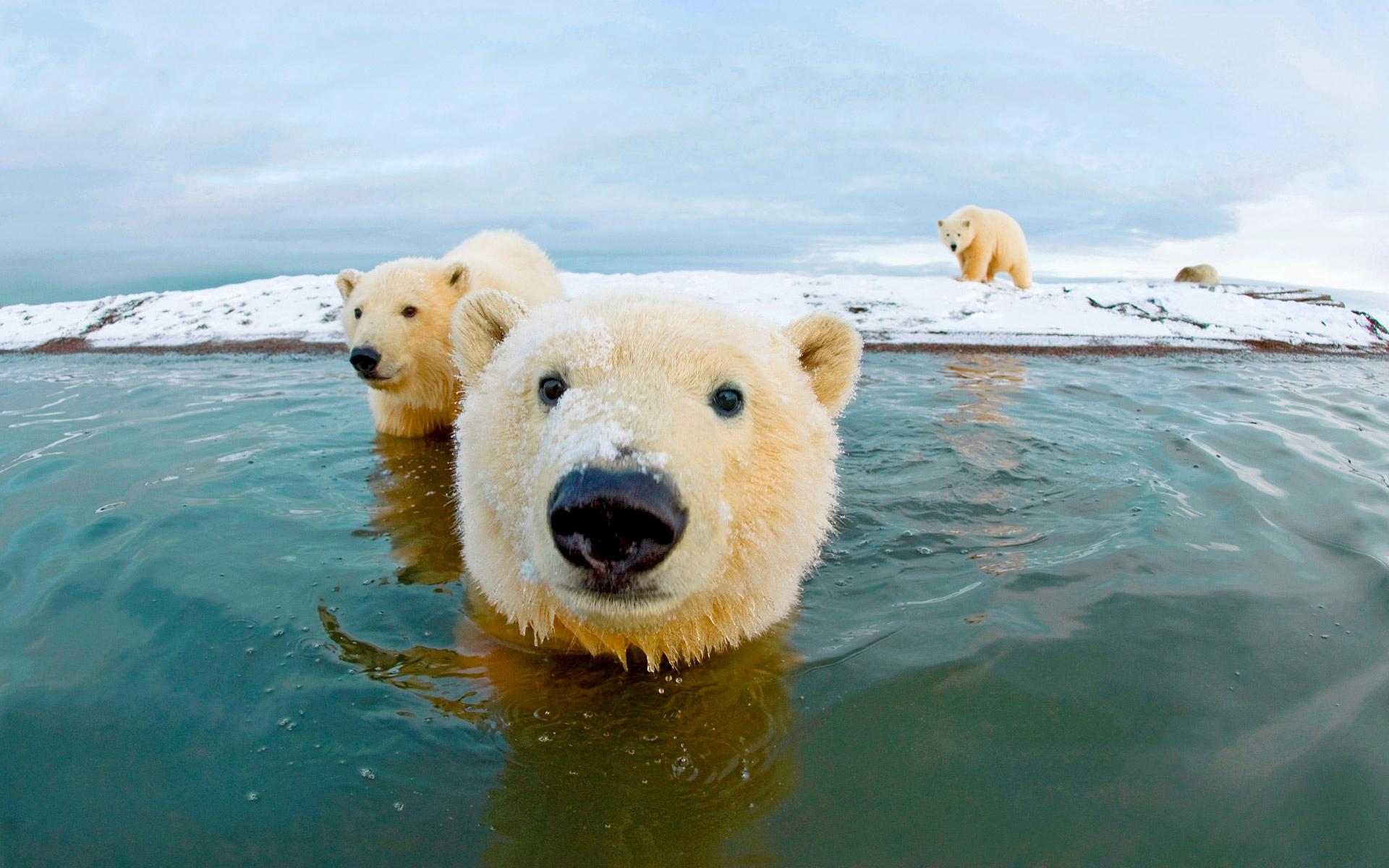 polar bears in water wallpaper 66741