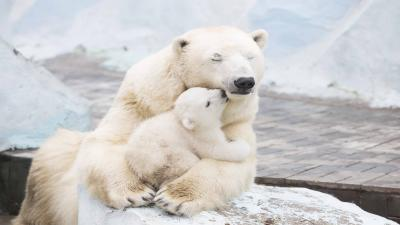 Cute Polar Bear Family Widescreen Wallpaper 66743