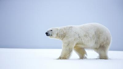 Polar Bear Animal Desktop HD Wallpaper 66738