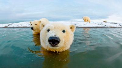 Polar Bears in Water Wallpaper 66741