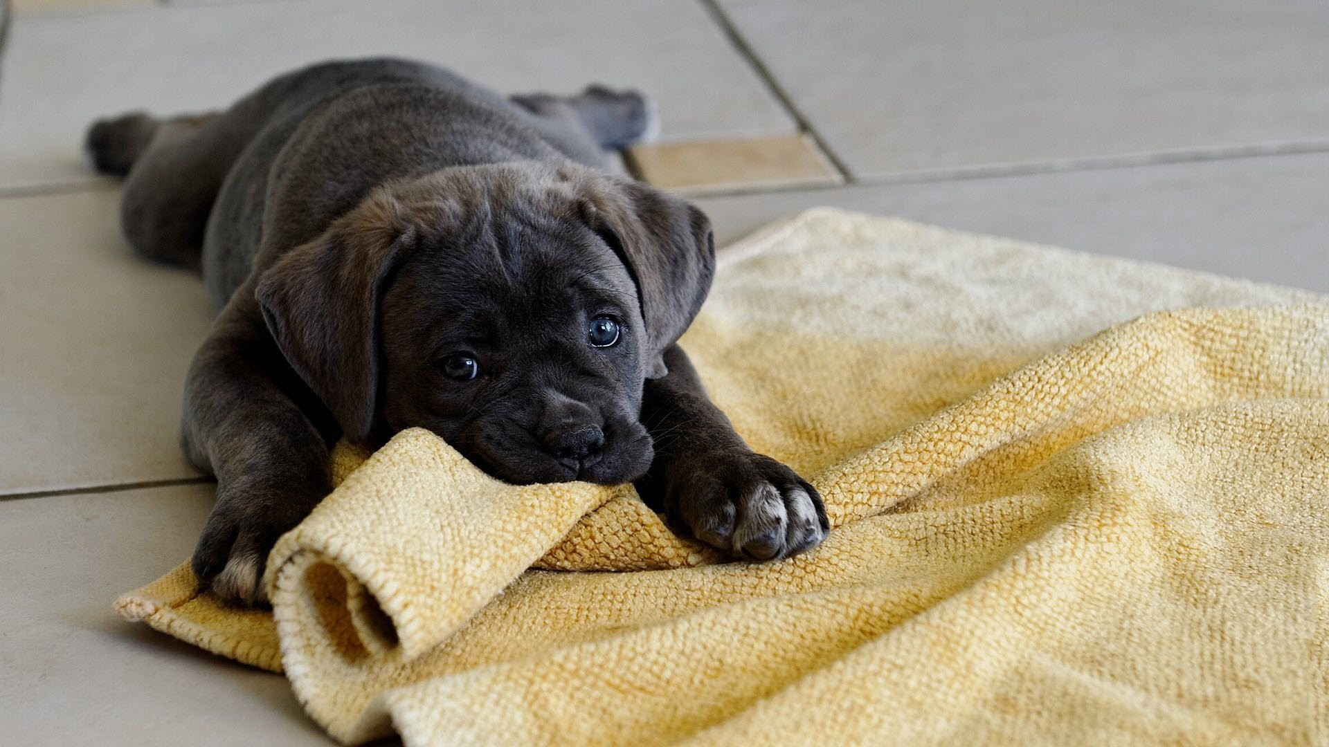 puppy desktop hd wallpaper 68268