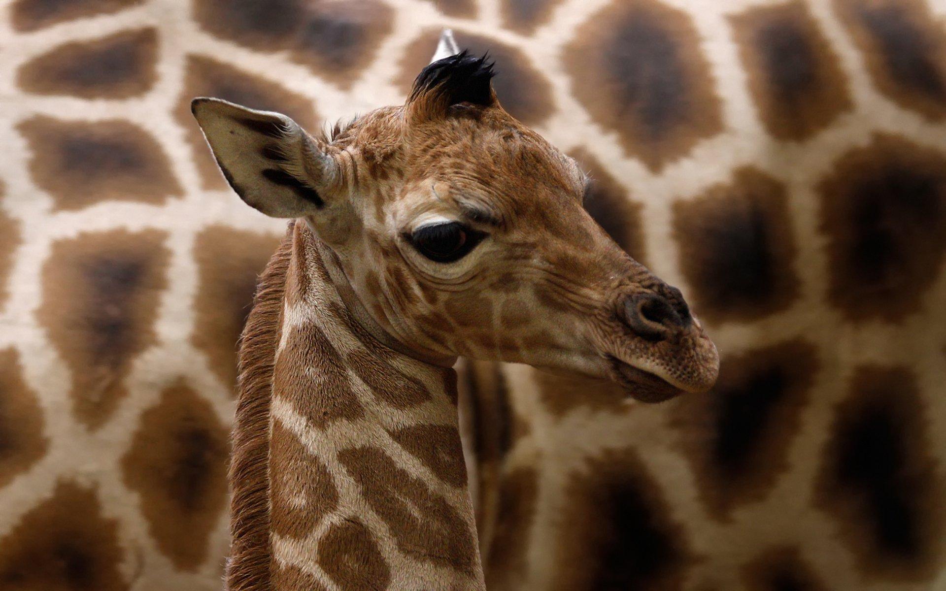 giraffe desktop wallpaper 68689