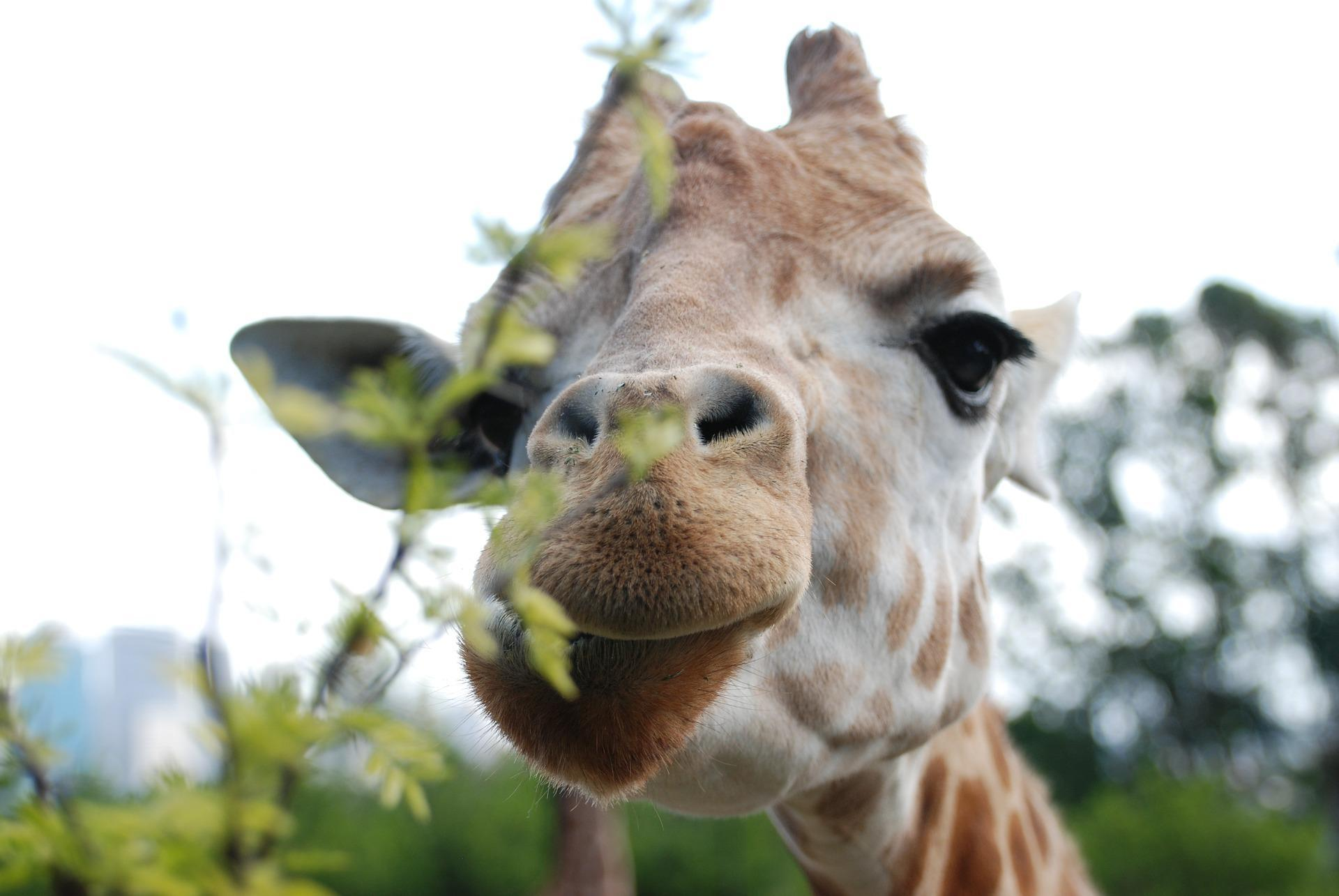 giraffe face wallpaper 68688