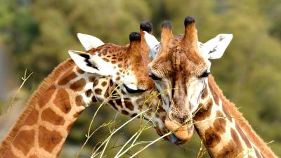 Cute Giraffe HD Wallpaper 68685