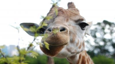 Giraffe Face Wallpaper 68688