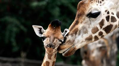 Giraffe Photos HD Wallpaper 68687