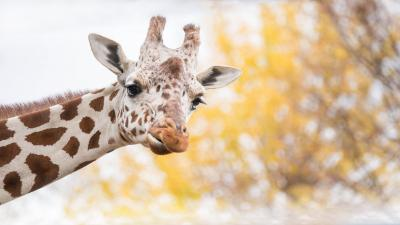 Giraffe Widescreen Pictures Wallpaper 68686