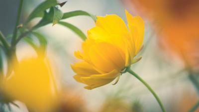 Yellow Flower Background HD Wallpaper 68544