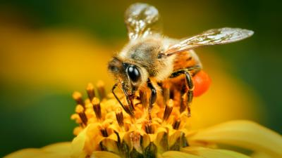 Bee Background HD Wallpaper 68014