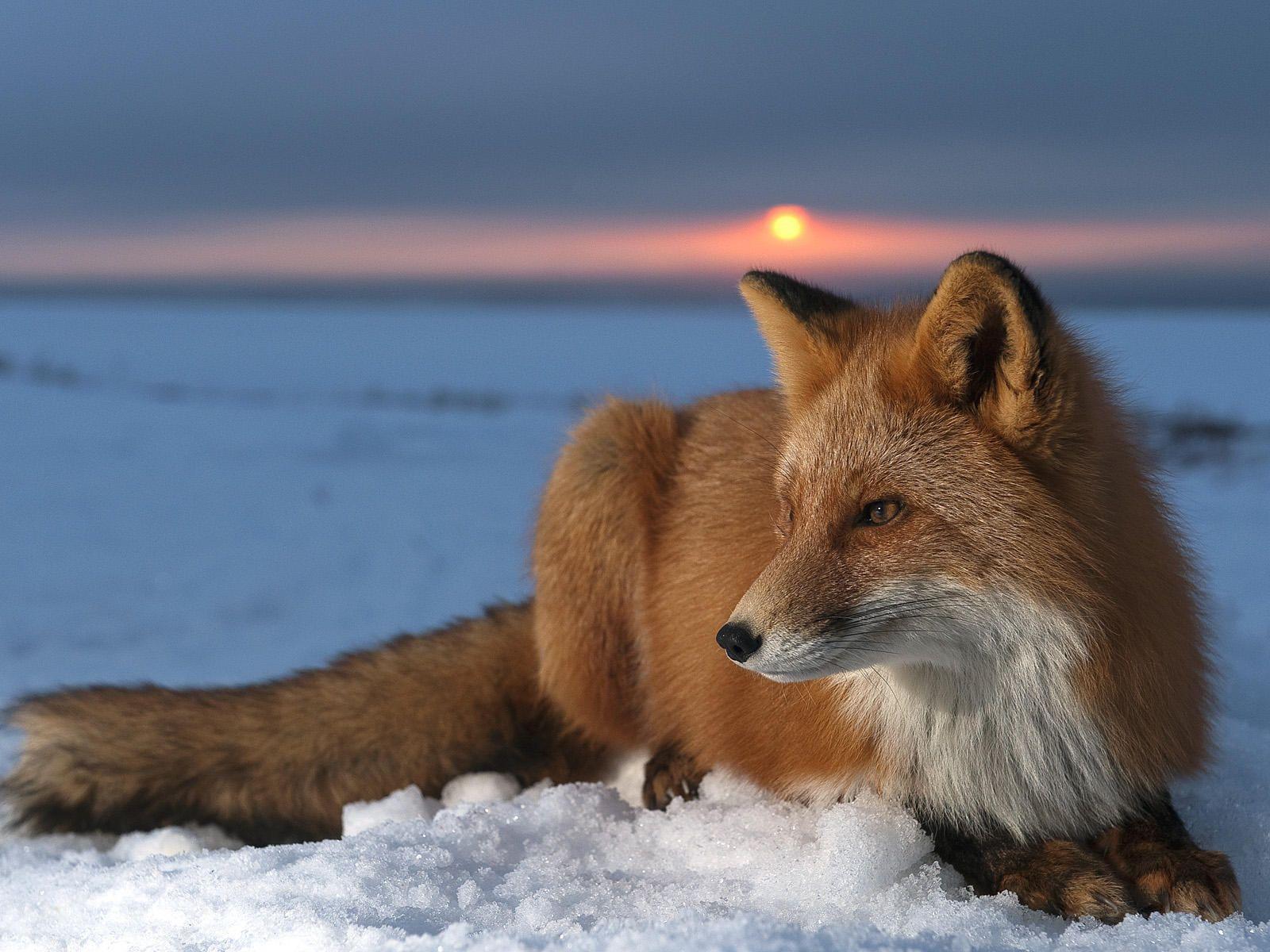 red fox sunset wallpaper 72004