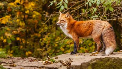 Red Fox Photos Wallpaper 72003