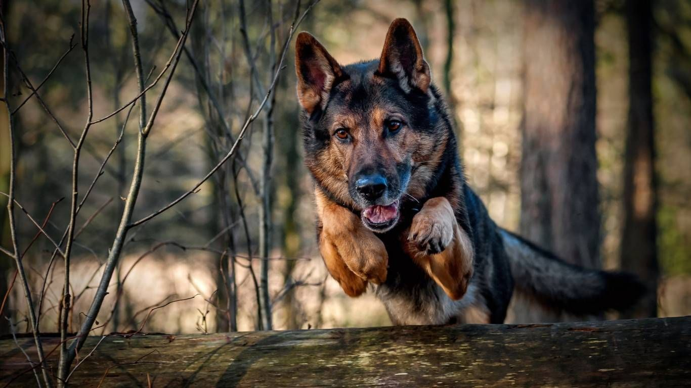 german shepherd jumping wallpaper 70569