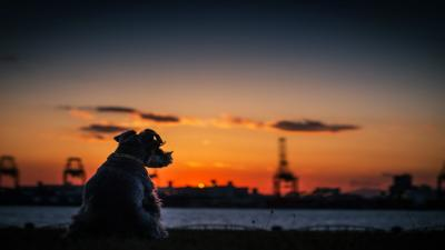 Dog Sunset Wallpaper 71536