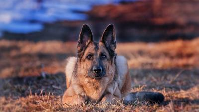 German Shepherd HD Desktop Wallpaper 70571
