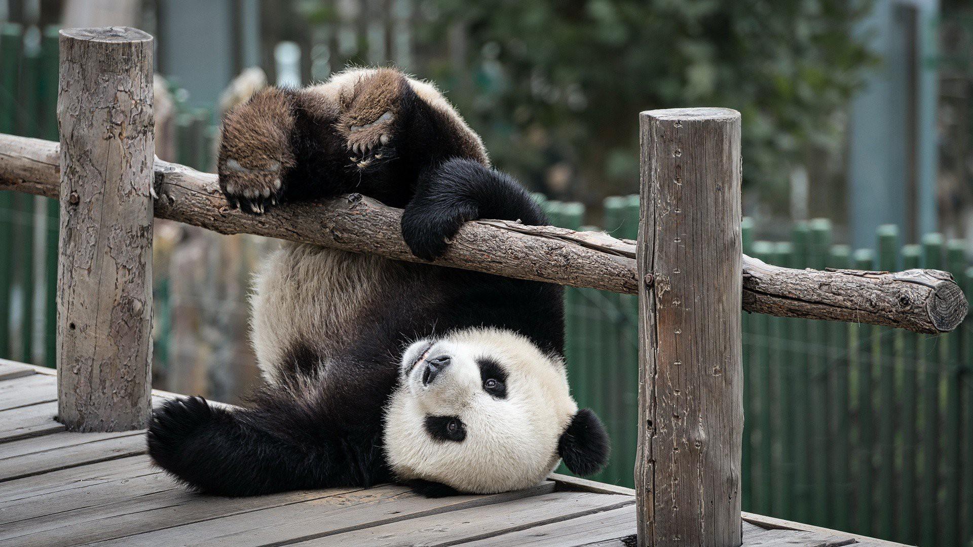 cute panda hd wallpaper 71282