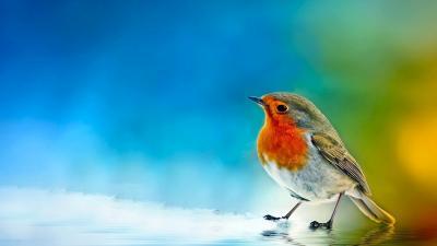 Robin Bird Desktop Wallpaper 72346