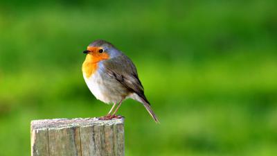 Robin Bird Wallpaper 72347