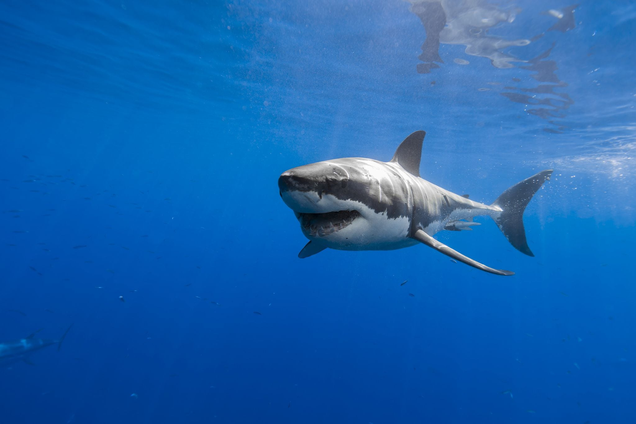 great white shark wide wallpaper 70902
