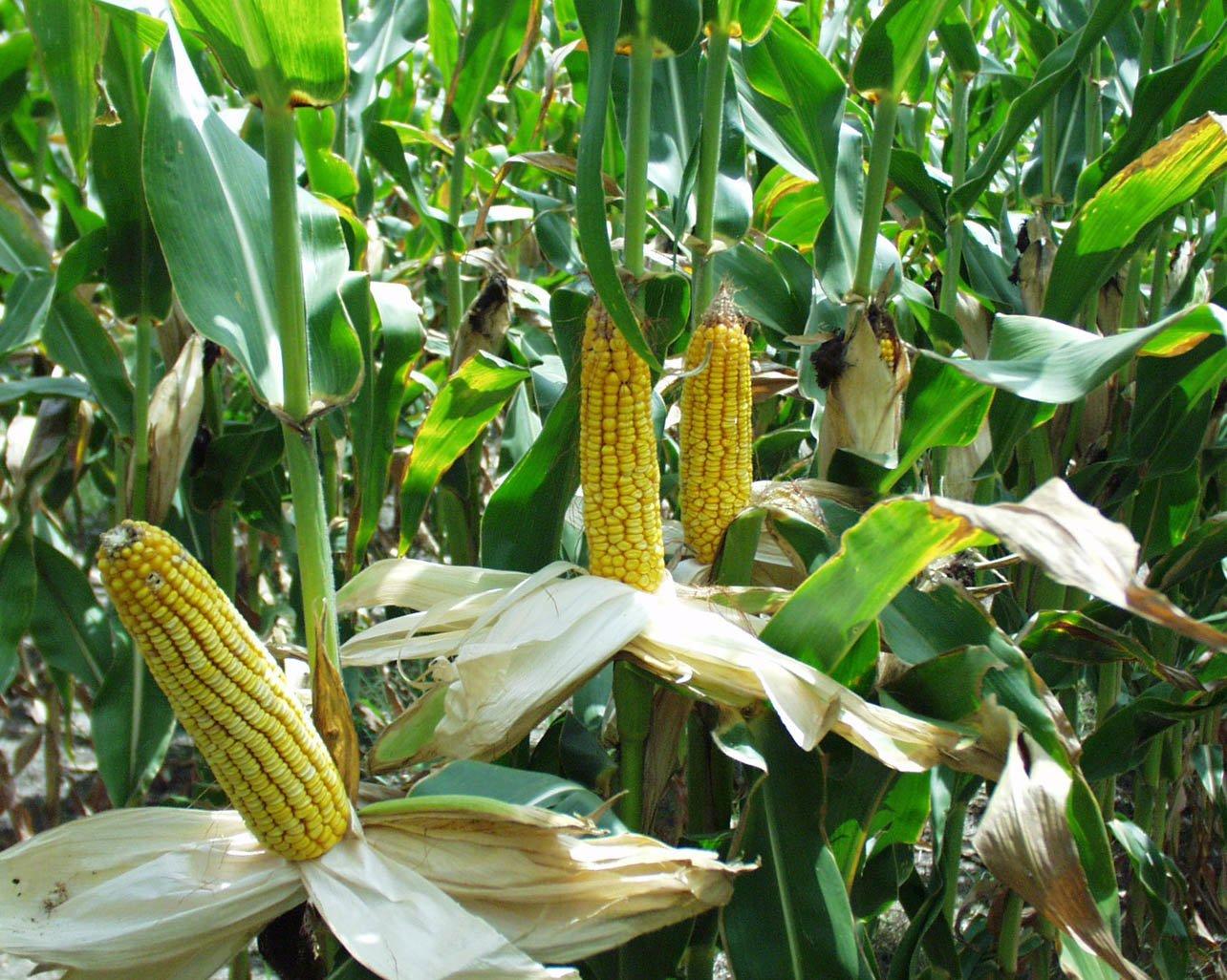 corn photos wallpaper 72176