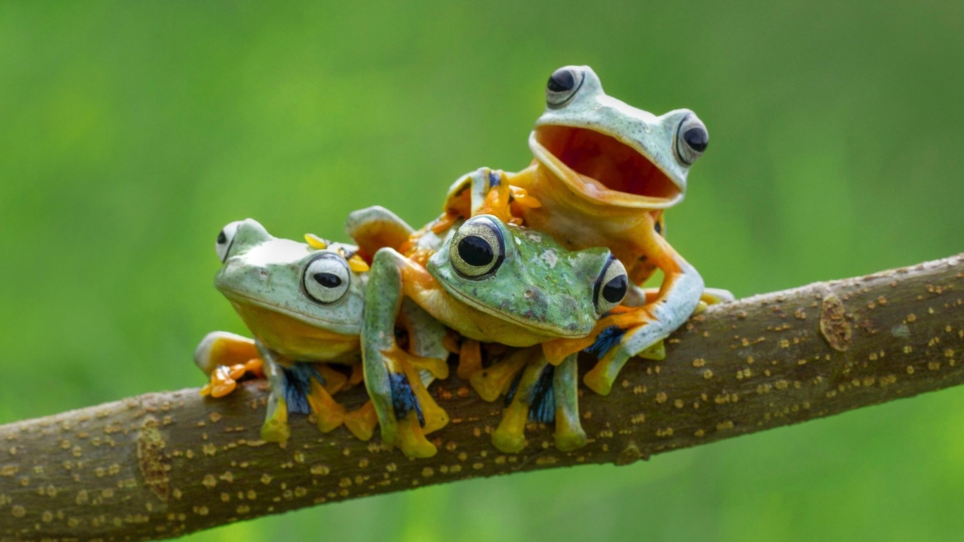 frog family hd wallpaper 70409
