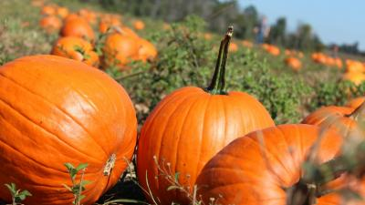 Pumpkin Patch Wallpaper 71814