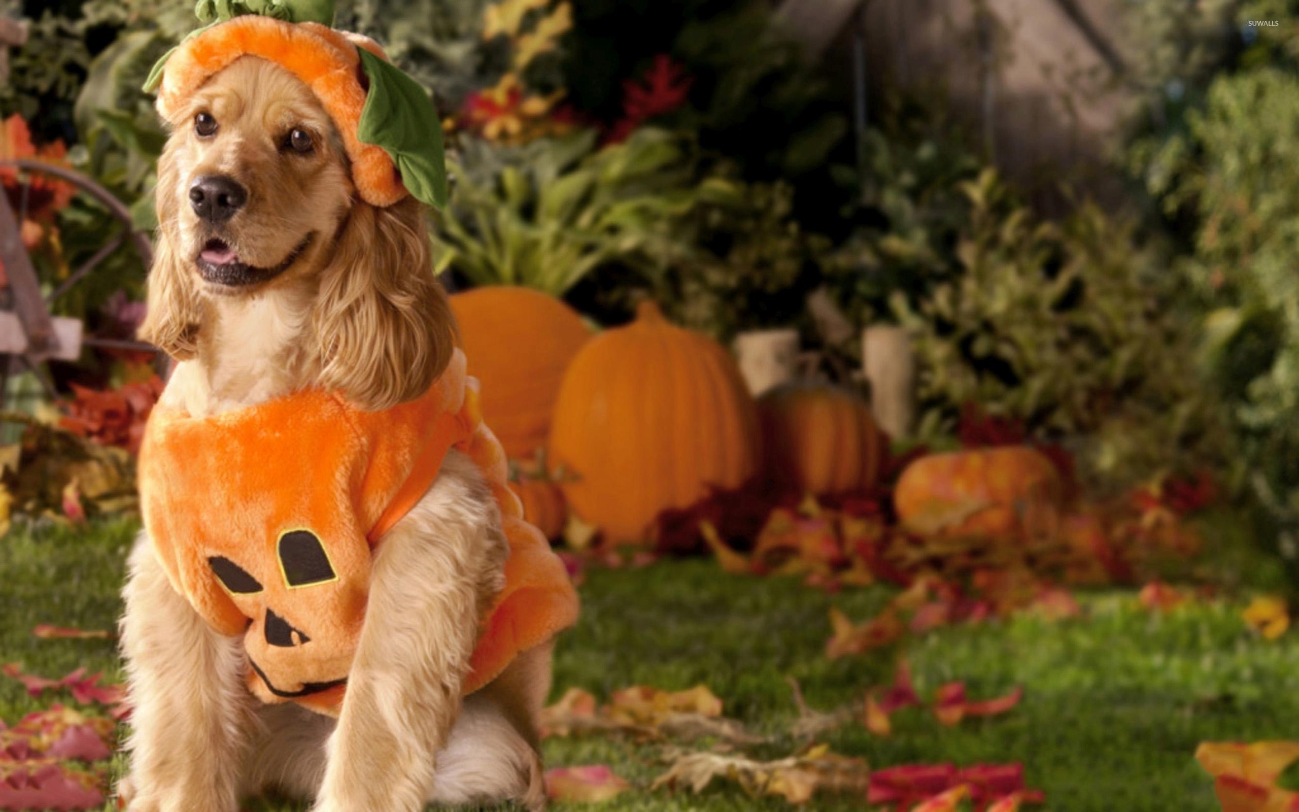 dog pumpkin wallpaper 71819