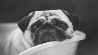 Monochrome Pug Wallpaper 70209