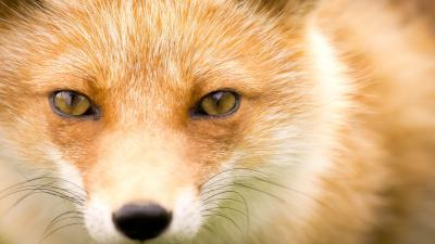 Red Fox Eyes Wallpaper 72767